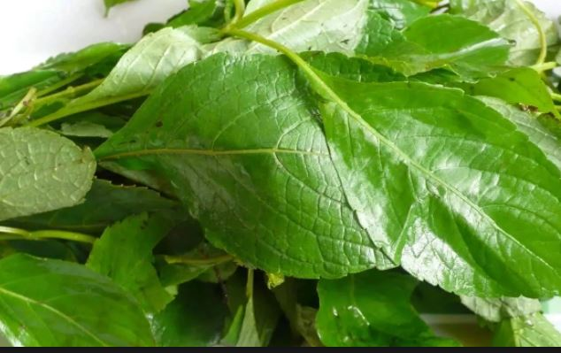 Health benefits of bitter-leaf & why you should start taking it