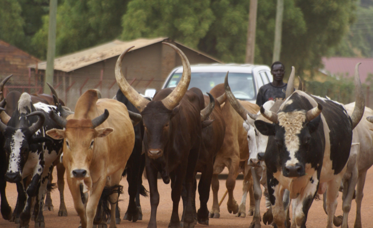 Photo of Police arrest four suspected cattle rustlers with 208 animals