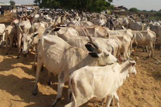 Police recover 36 cows from rustlers in Zamfara