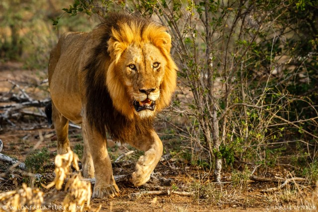 More tigers, African lions test positive for coronavirus