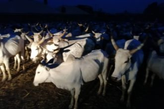 Police nab seven suspected cattle rustlers, recover 273 livestock in Kaduna