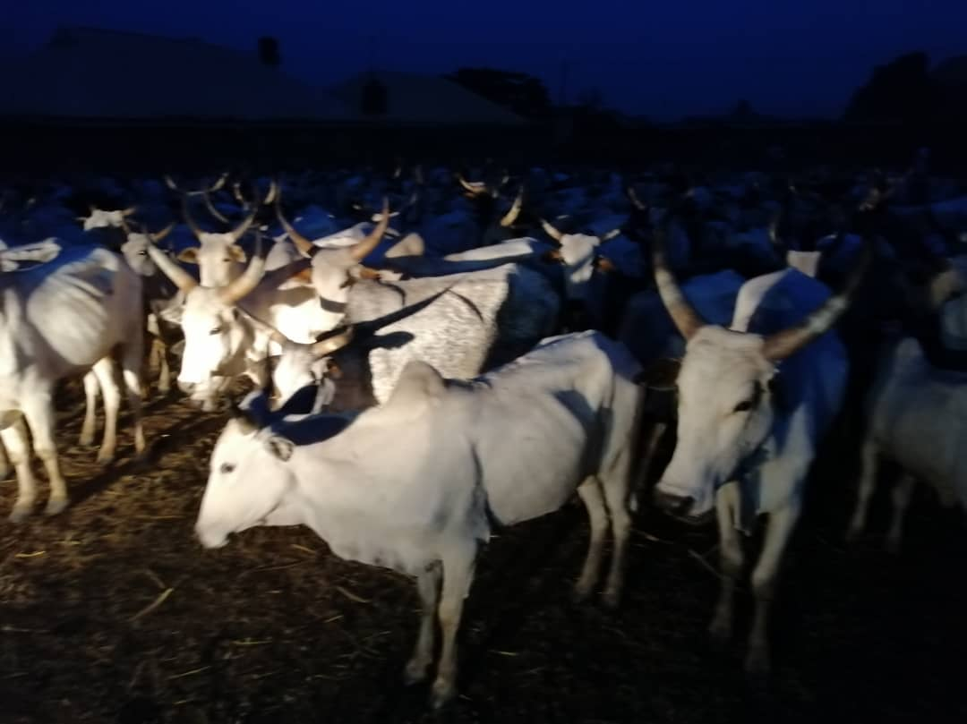 Photo of Amotekun Arrests 100 Cows For Violating Grazing Rules In Ondo