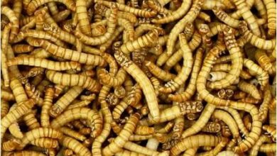 Photo of EU approves sale of mealworm for human consumption