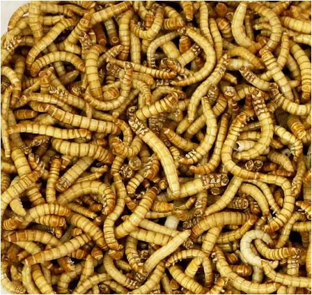 EU approves sale of mealworm for human consumption