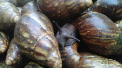 Photo of Houston airport officials impound Nigerian snails, linked with rare meningitis
